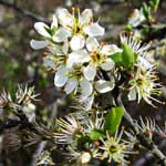 Blackthorn flower symbplize Strife, image take from Web