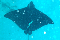 Devilfish or Eagle Ray shot off coast of San Pedro, Belize, in 2016 by Jim McPherson